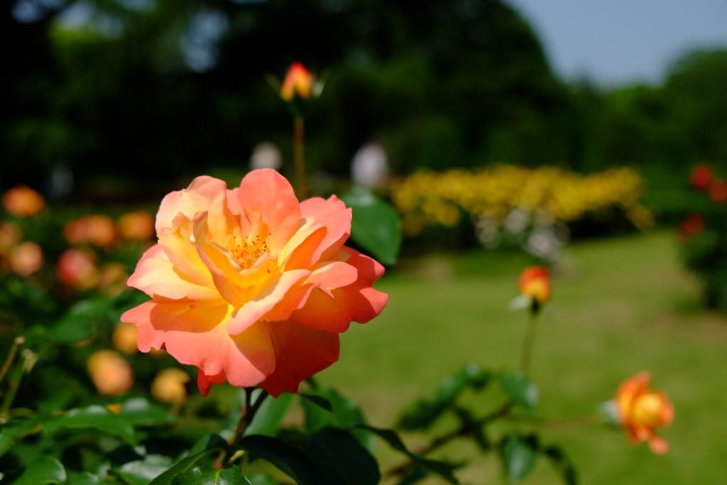 Rose Souvenir d'Anne Franck
